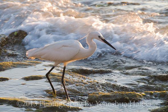 egret-sparks-web