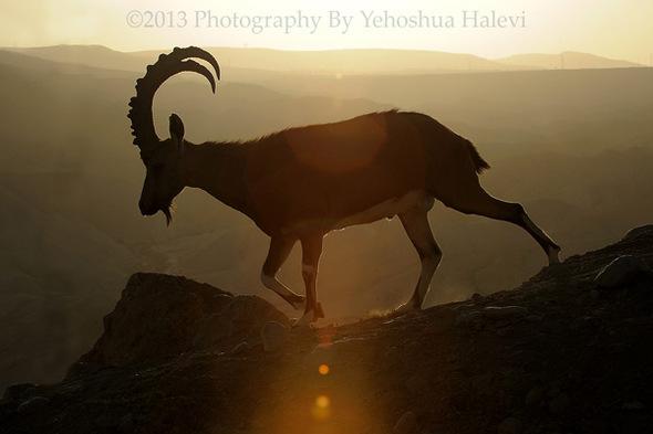 goat photo.