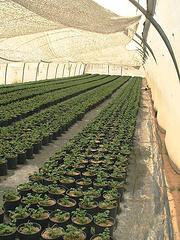 anita tucker's celery seedlings