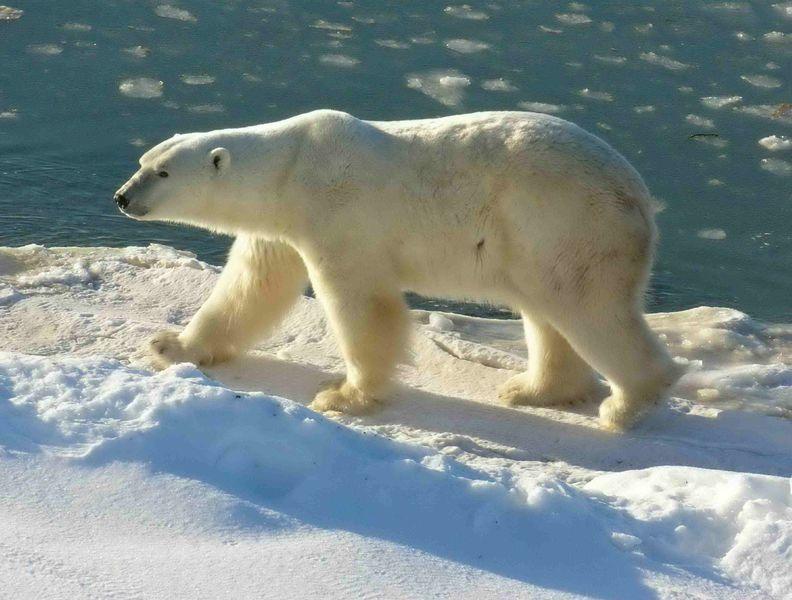 terry spears polar bear series